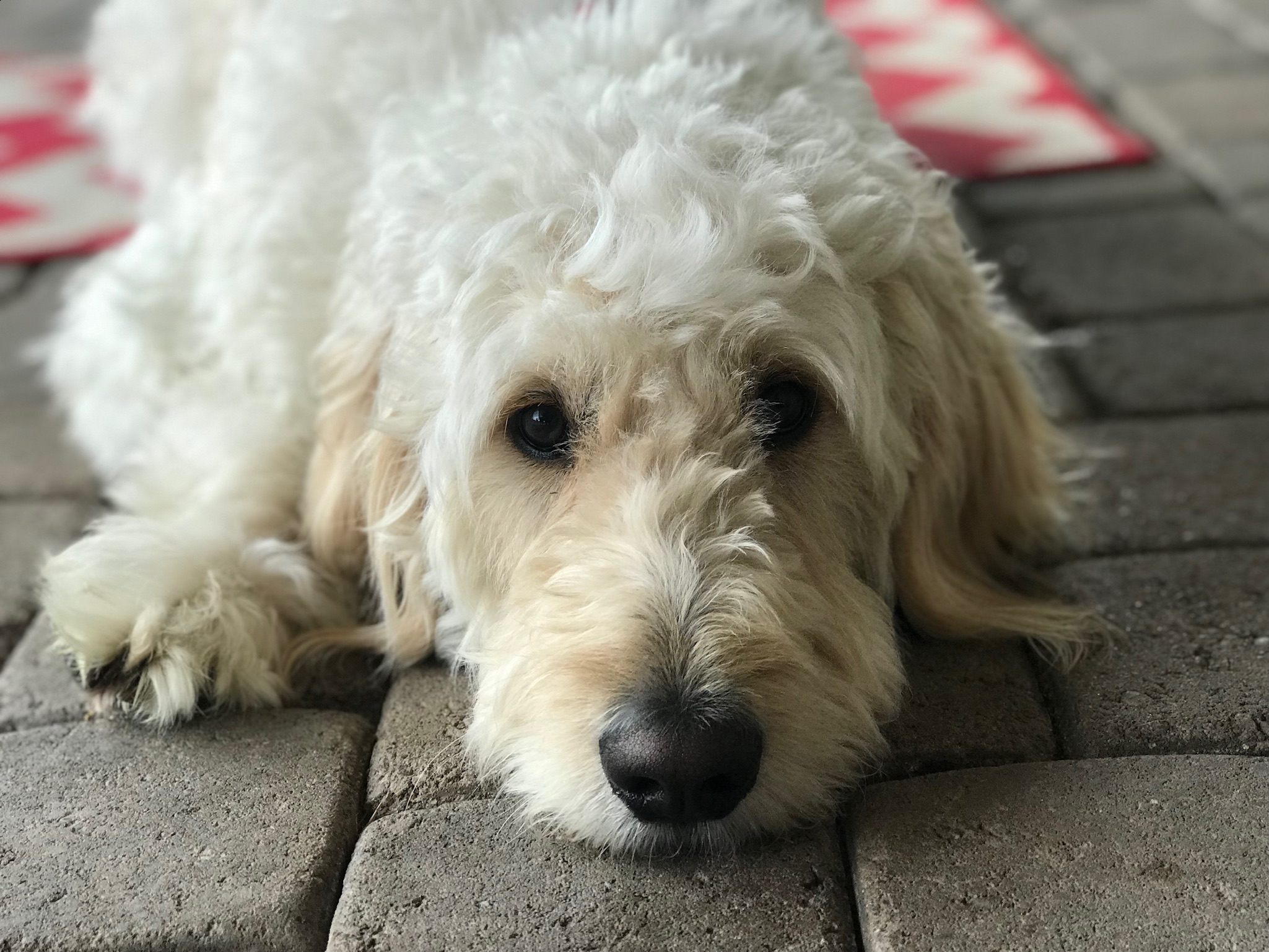 IMG_0063 How We Became Goldendoodle Breeders in AZ