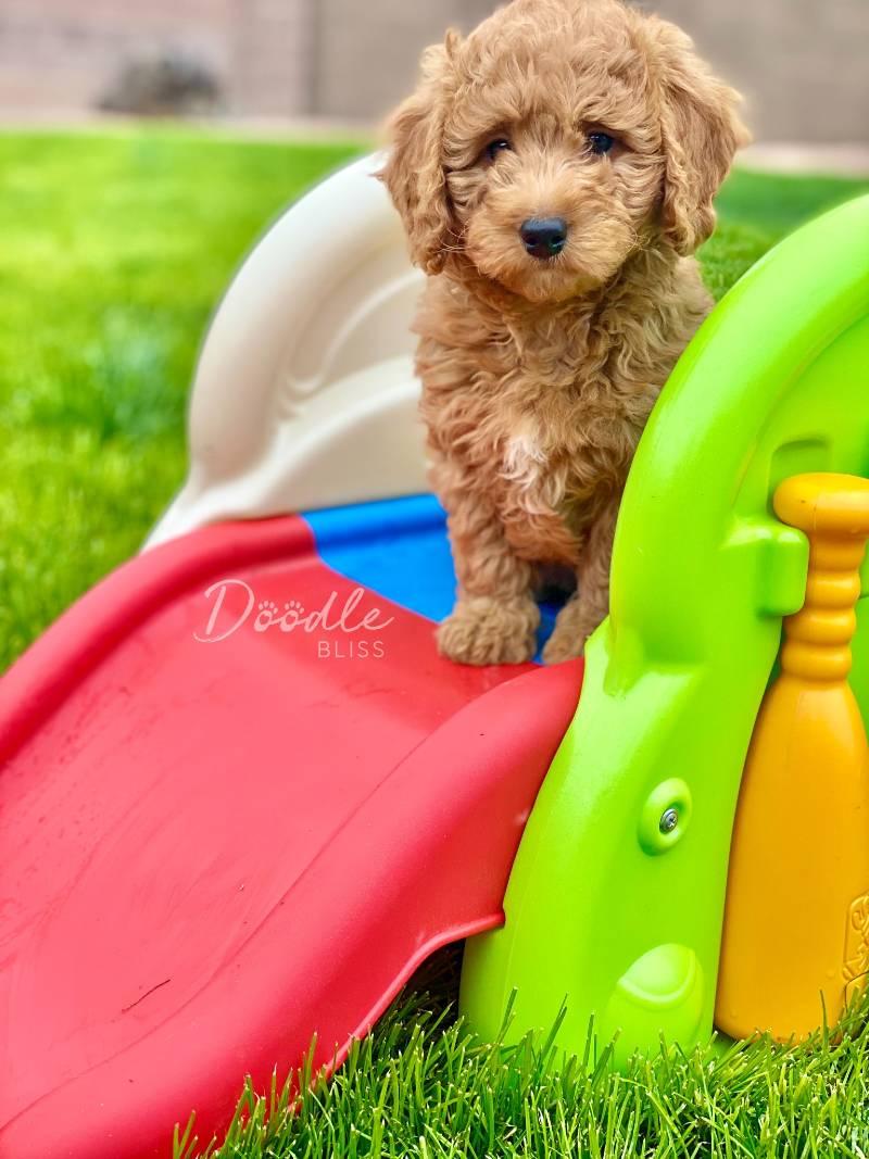 Mini Doodle Puppy Slide