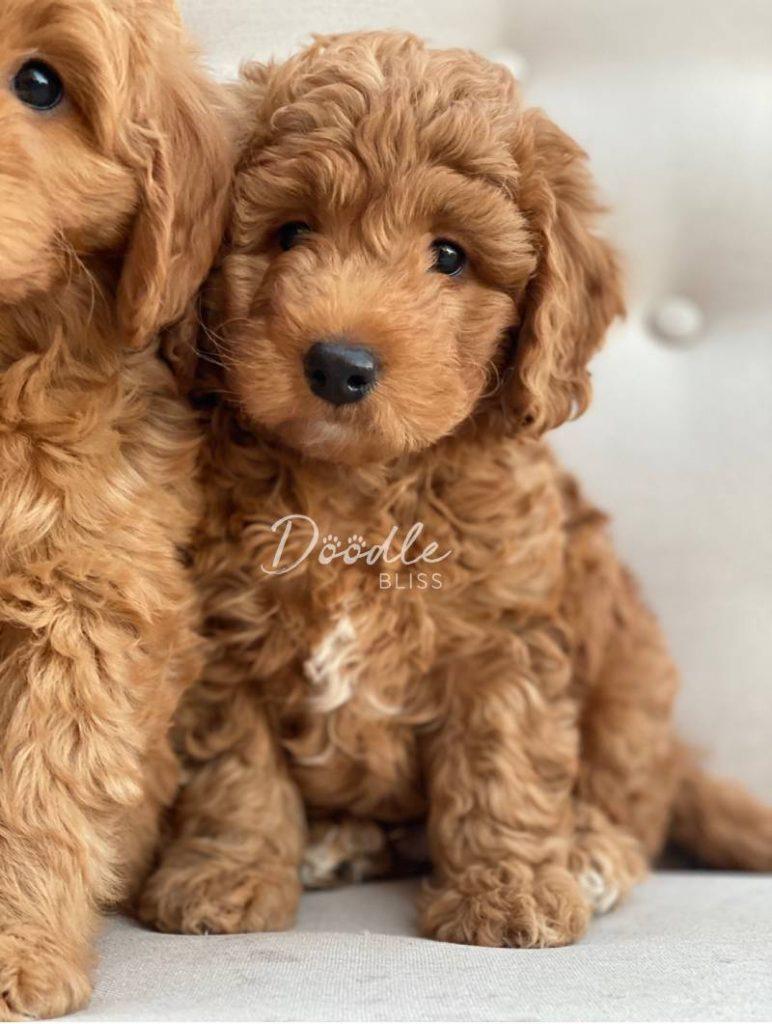 Mini Goldendoodle Puppy
