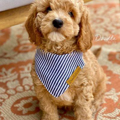 mini-goldendoodle-puppy-bandana-web